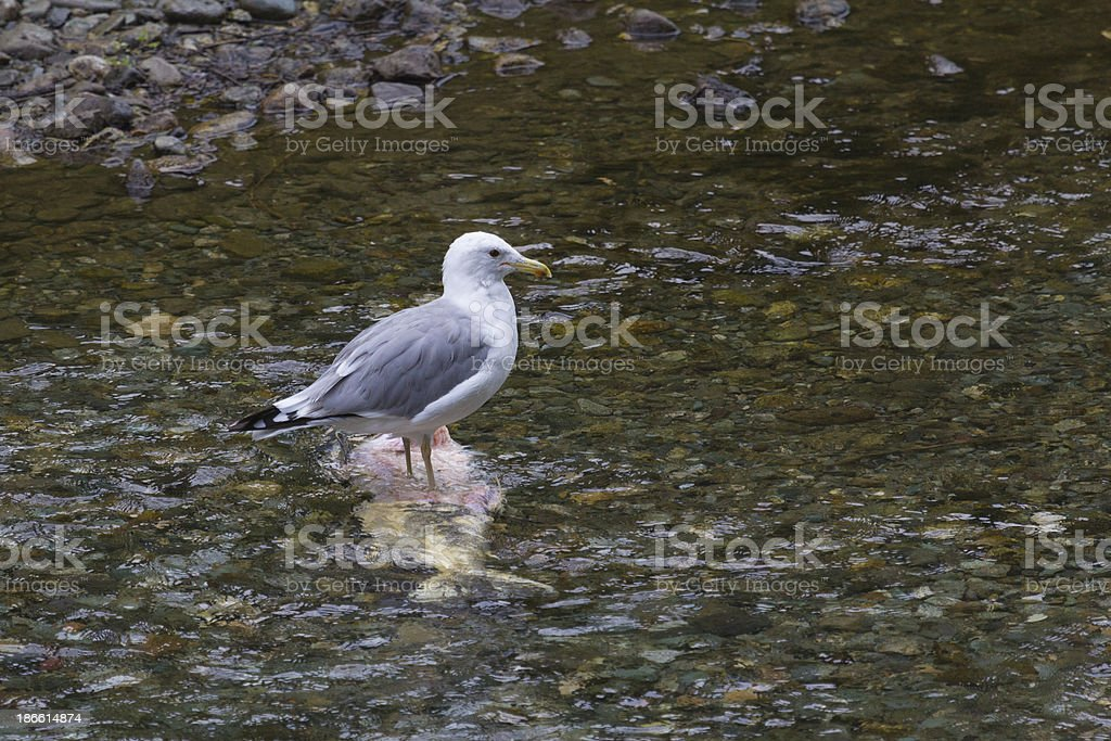 Herring Gull standing on a large dead fish stock photo