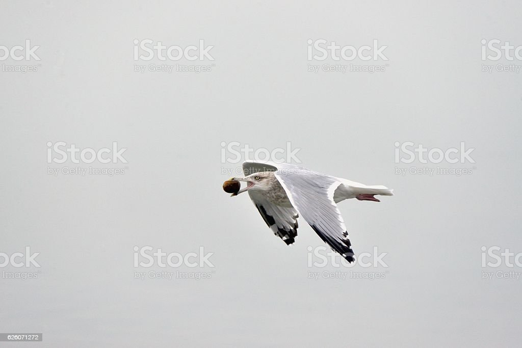 Herring Gull with Snail stock photo