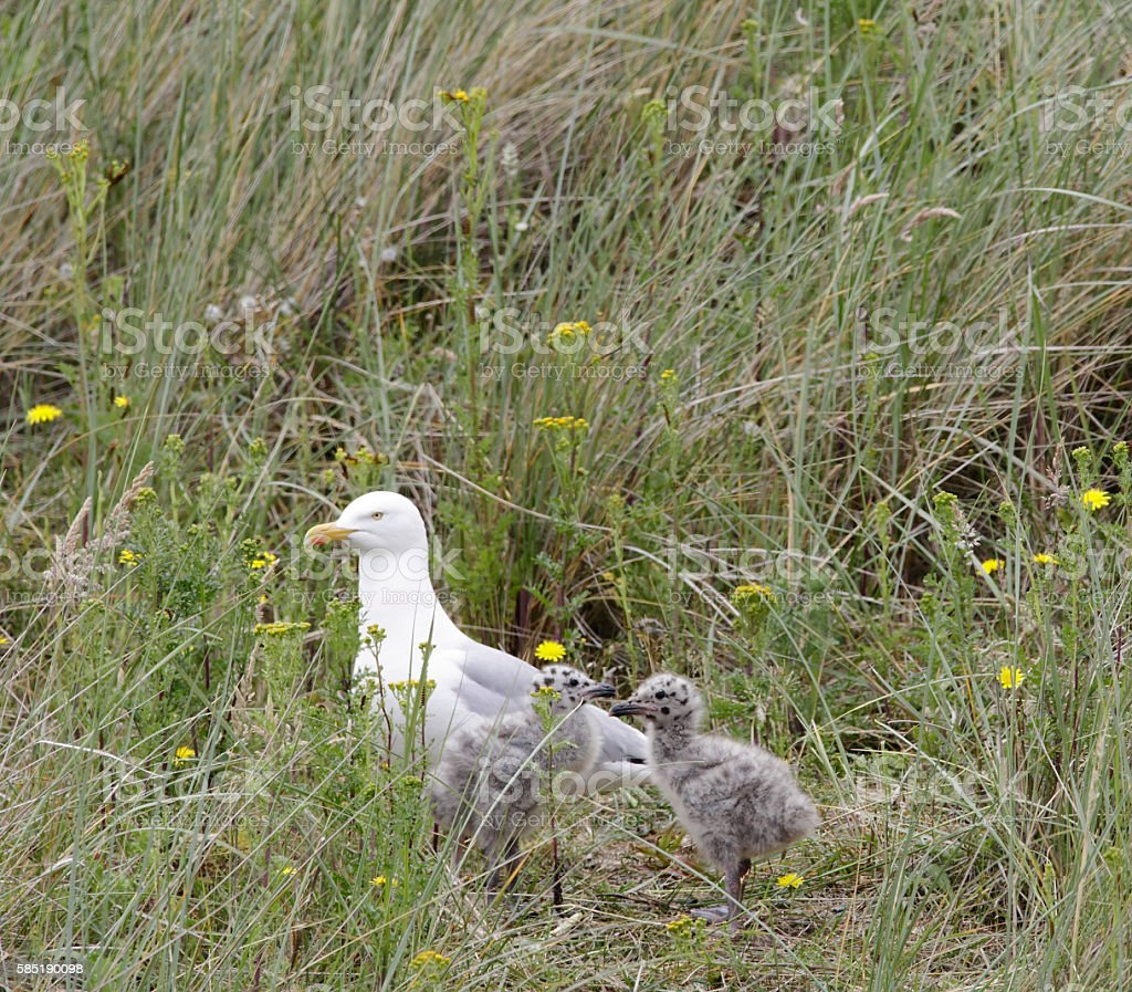 Herring Gull (Larus argentatus) with Young stock photo