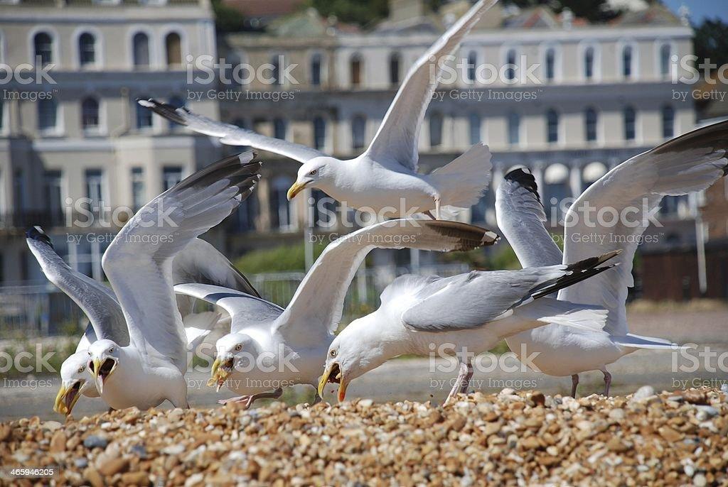 Herring Gulls, Folkestone stock photo