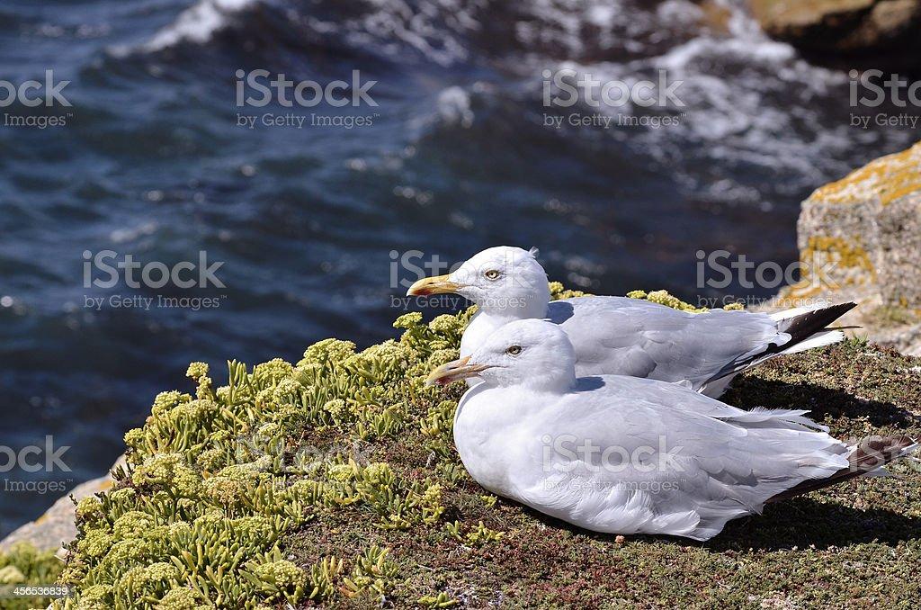 Herring gulls lying on grass stock photo