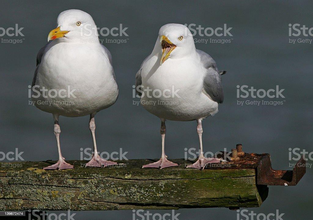 Herring gulls (Larus argentatus) stock photo