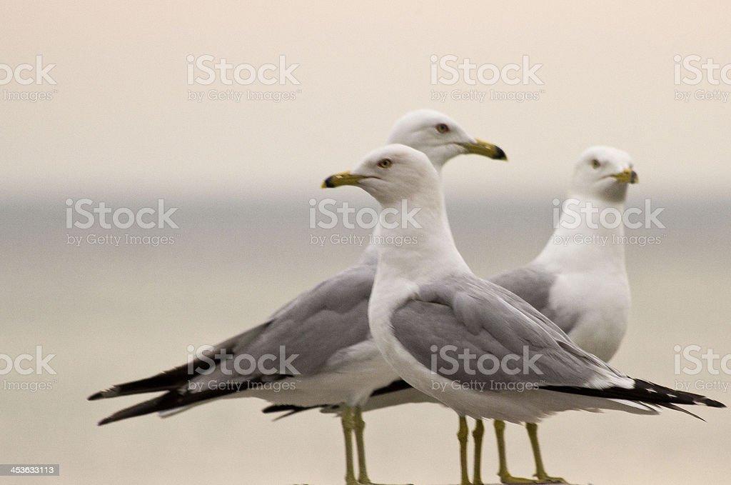 Herring Gulls Trio stock photo