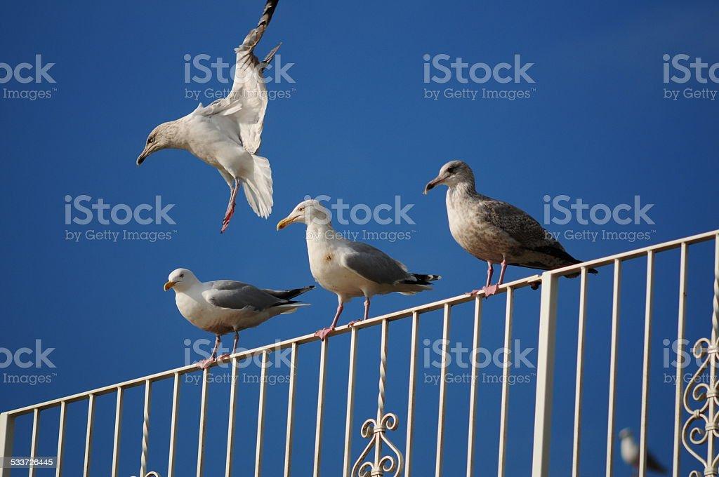 Herring Gulls, U.K. stock photo