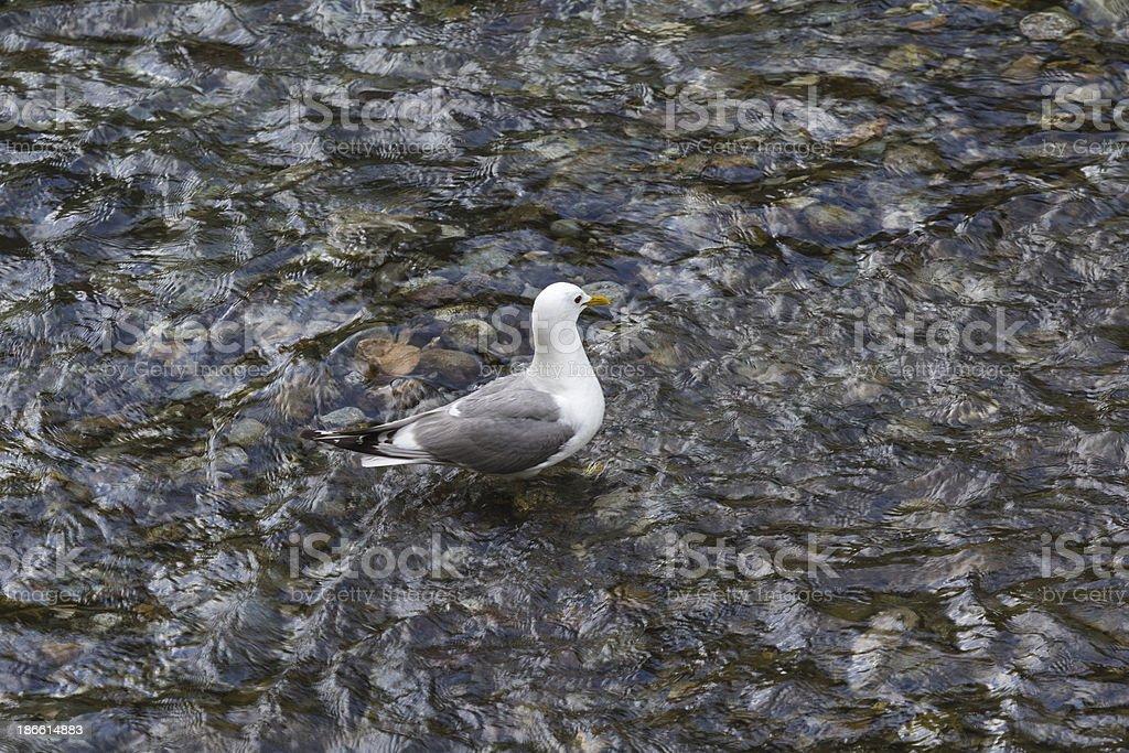 Herring Seagull stock photo