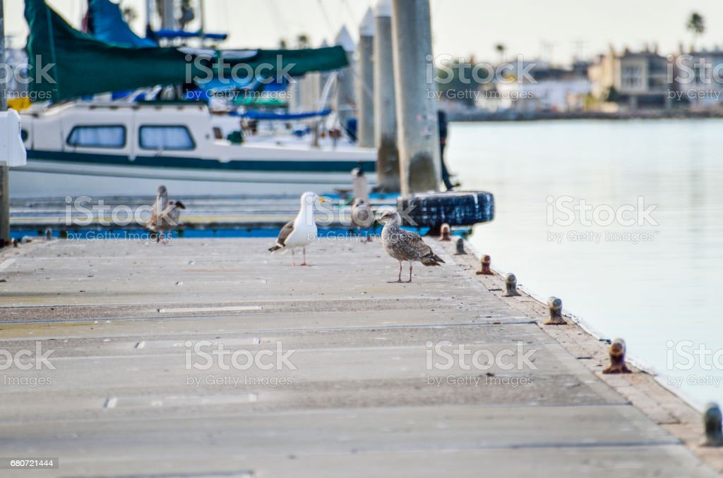 Herring western Seagulls standing on pier in Oxnard harbor with boats stock photo