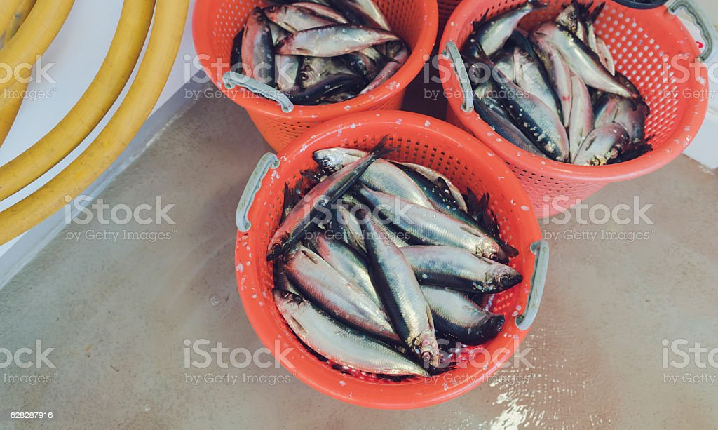 Herrings on the fishing boat deck stock photo