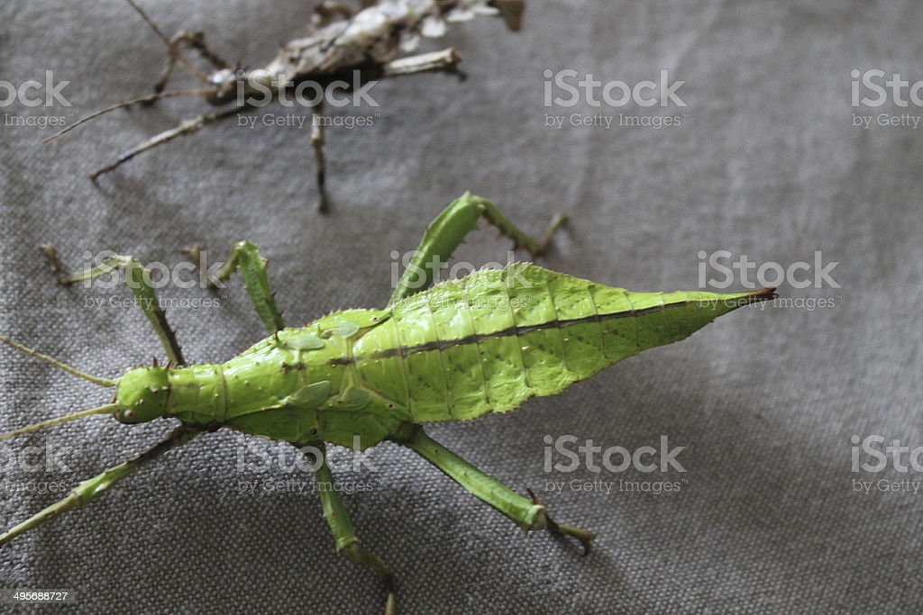 heteropteryx dilatata stick insect royalty-free stock photo