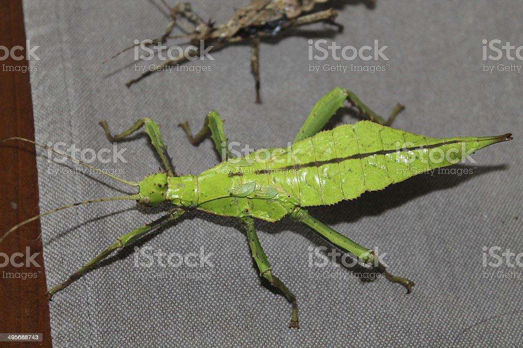 heteropteryx dilatata stick insect royalty-free stock photo