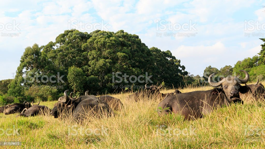 Hey Take my Photo - African Buffalo Syncerus caffer stock photo