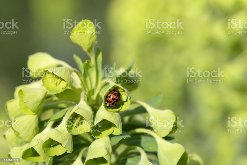Hibernation harlequin ladybird Harmonia axyridis covered in dew stock photo