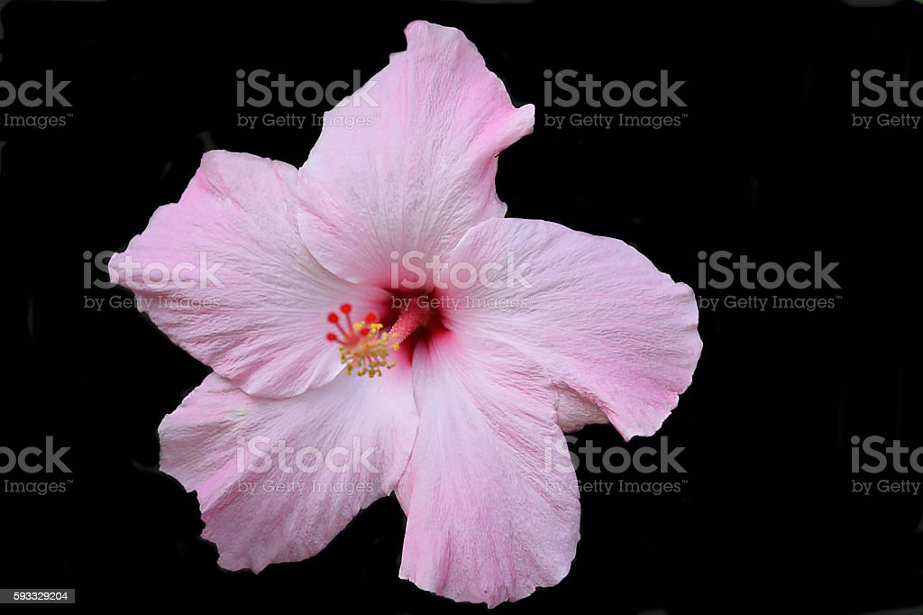 Hibiscus Black Background stock photo