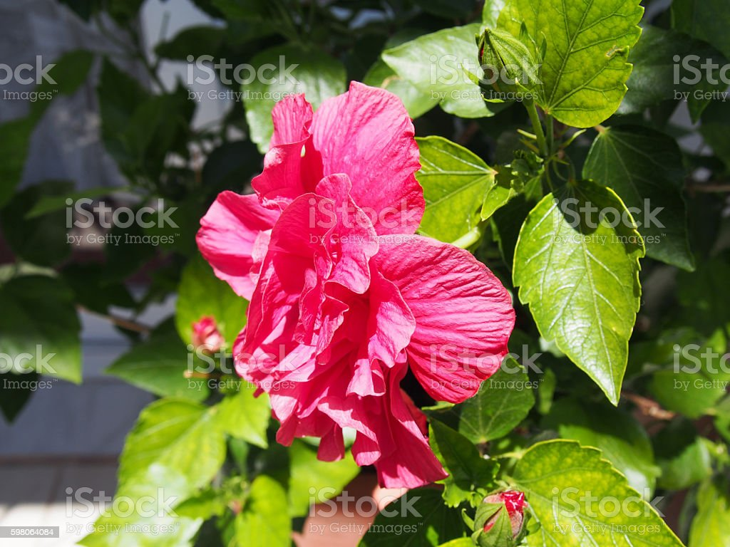 Hibiscus Chinese Rose stock photo