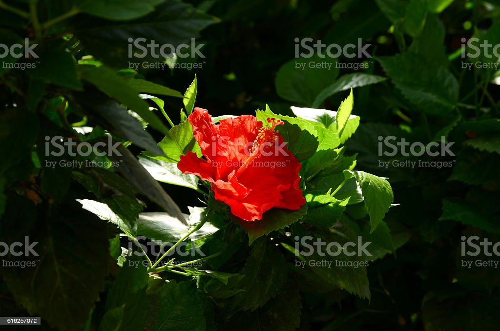 Hibiscus - Rose de Chine royalty-free stock photo