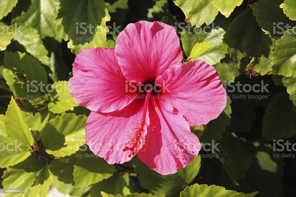 Hibiscus Flower Close Up royalty-free stock photo