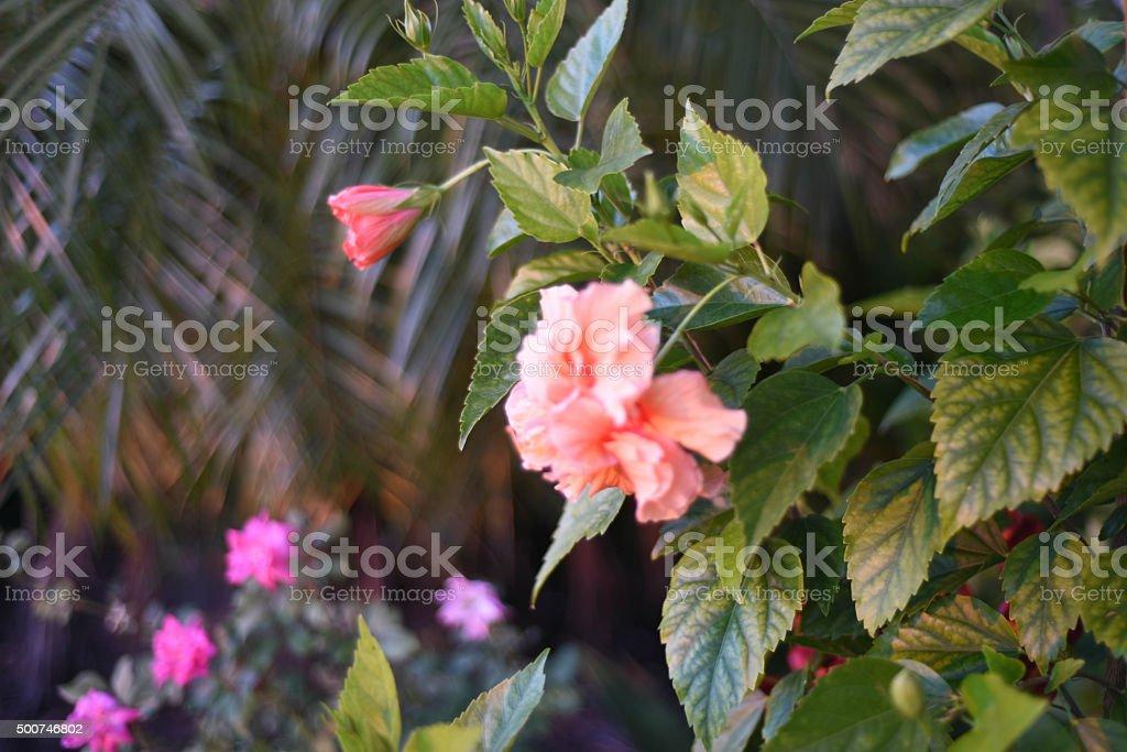 Hibiscus Flower Garden stock photo