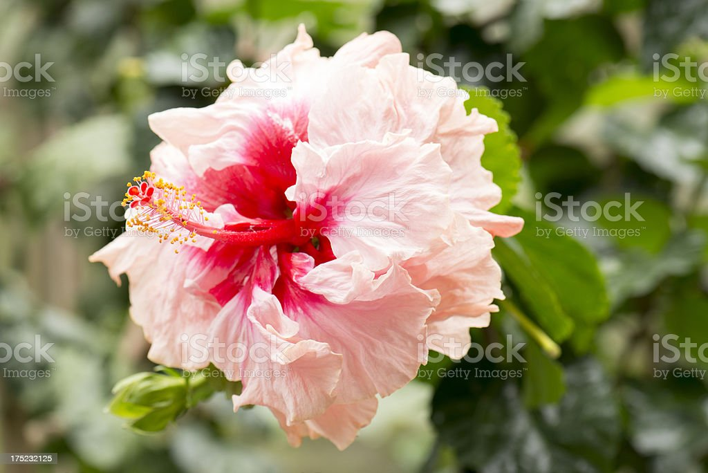 Hibiscus Flower in Bloom royalty-free stock photo