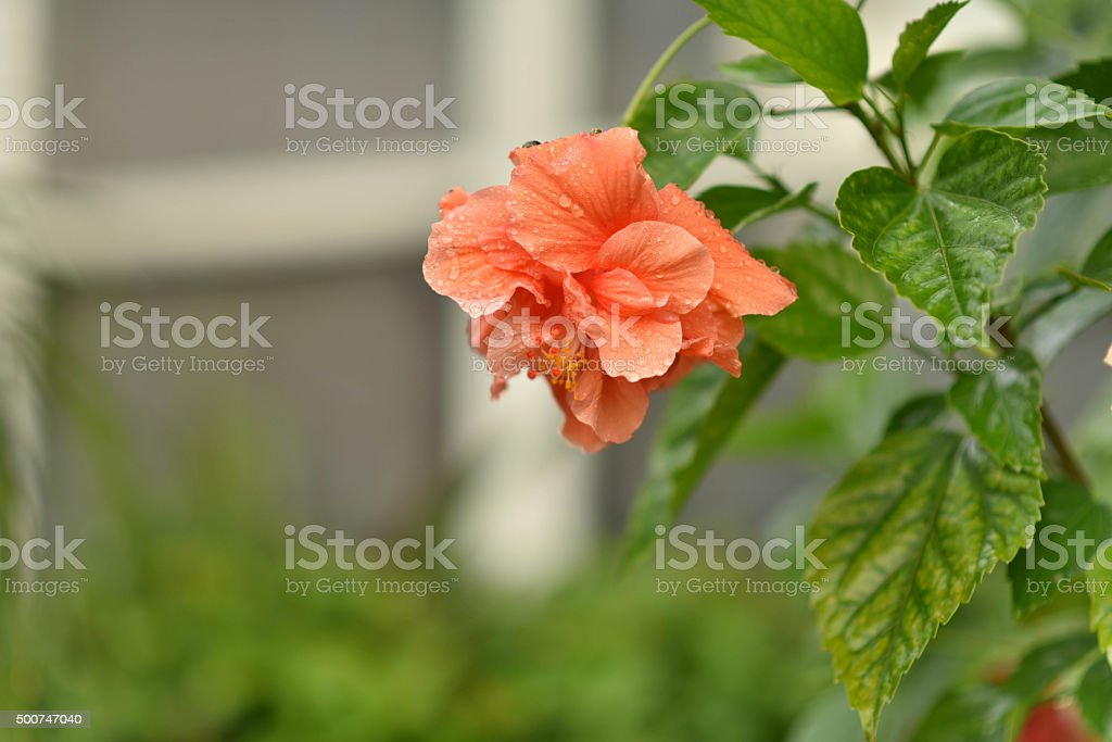 Hibiscus Flower in front of window stock photo