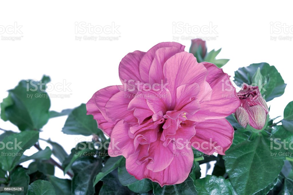 Hibiscus flower isolated on white background stock photo