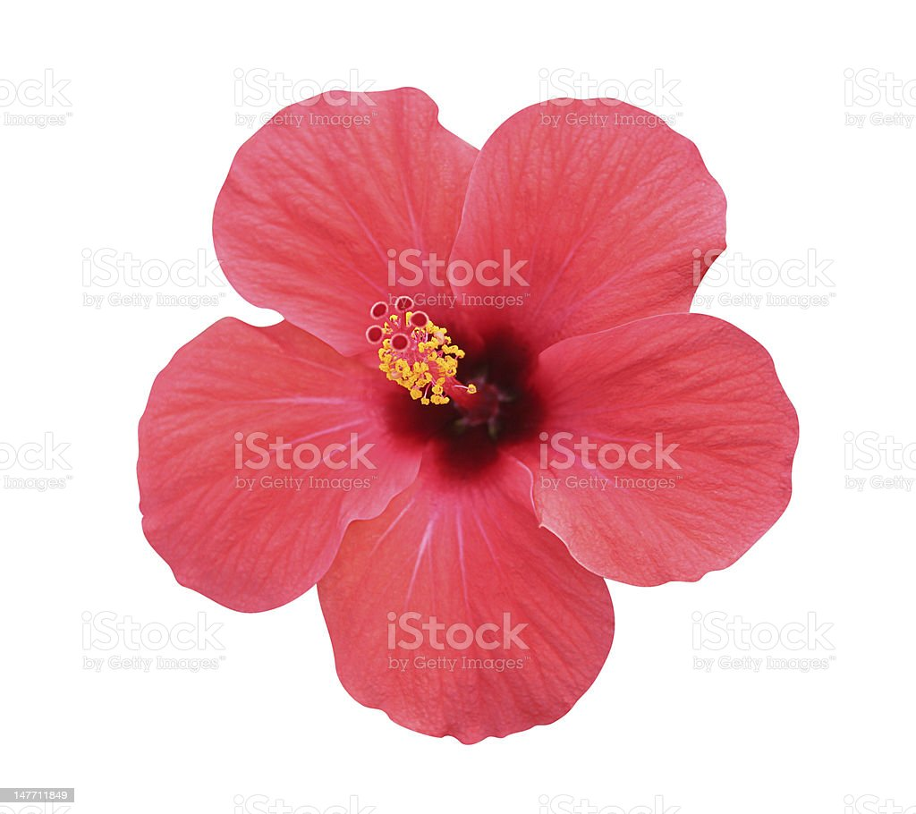 Hibiscus flower - isolated, path included stock photo