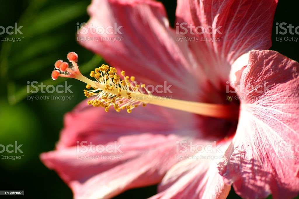 Hibiscus Flower royalty-free stock photo