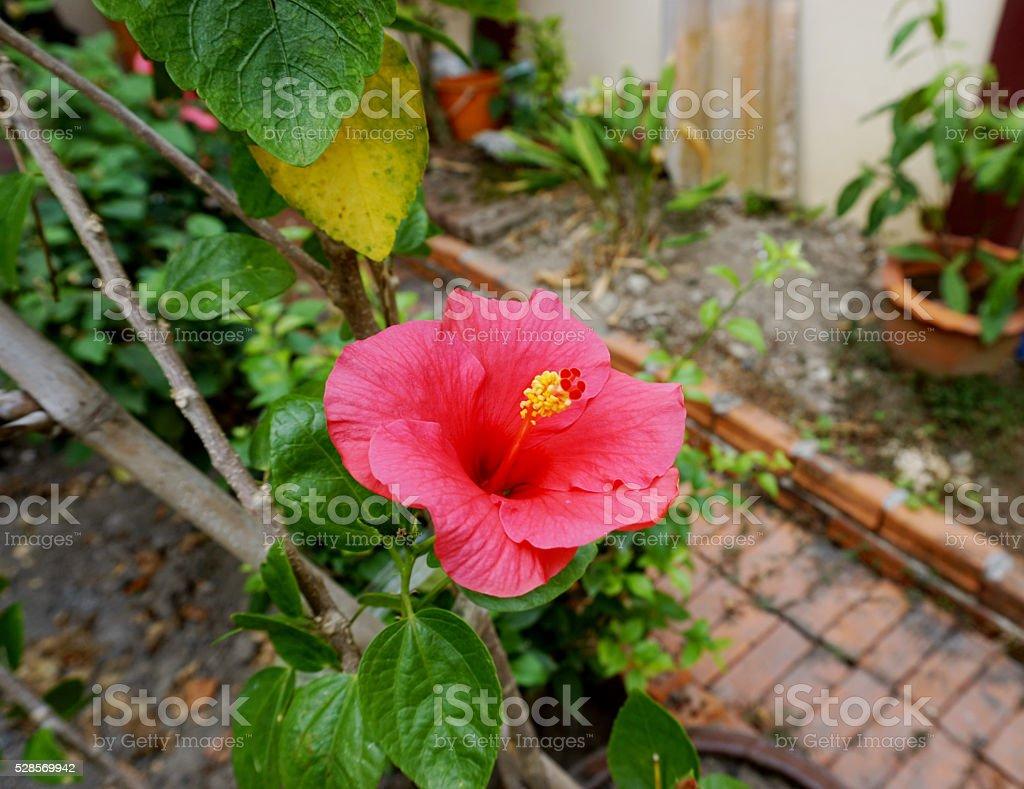 hibiscus flower stock photo