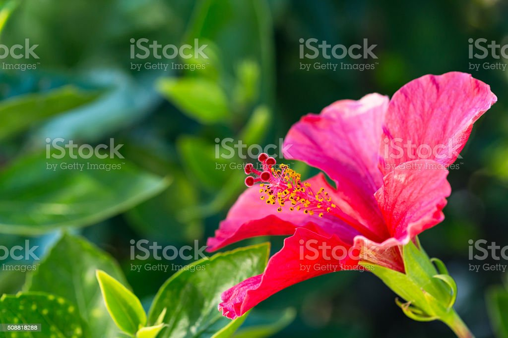 Hibiscus flower pink stock photo