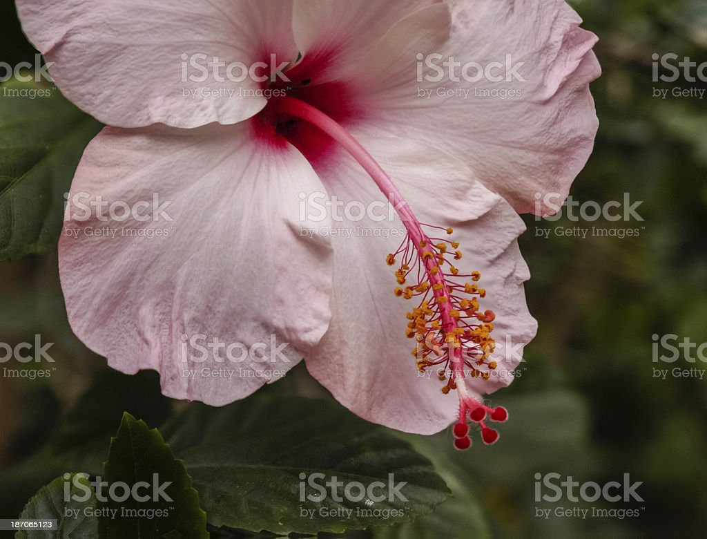Hibiscus flower, plant in Paraguay, South America royalty-free stock photo