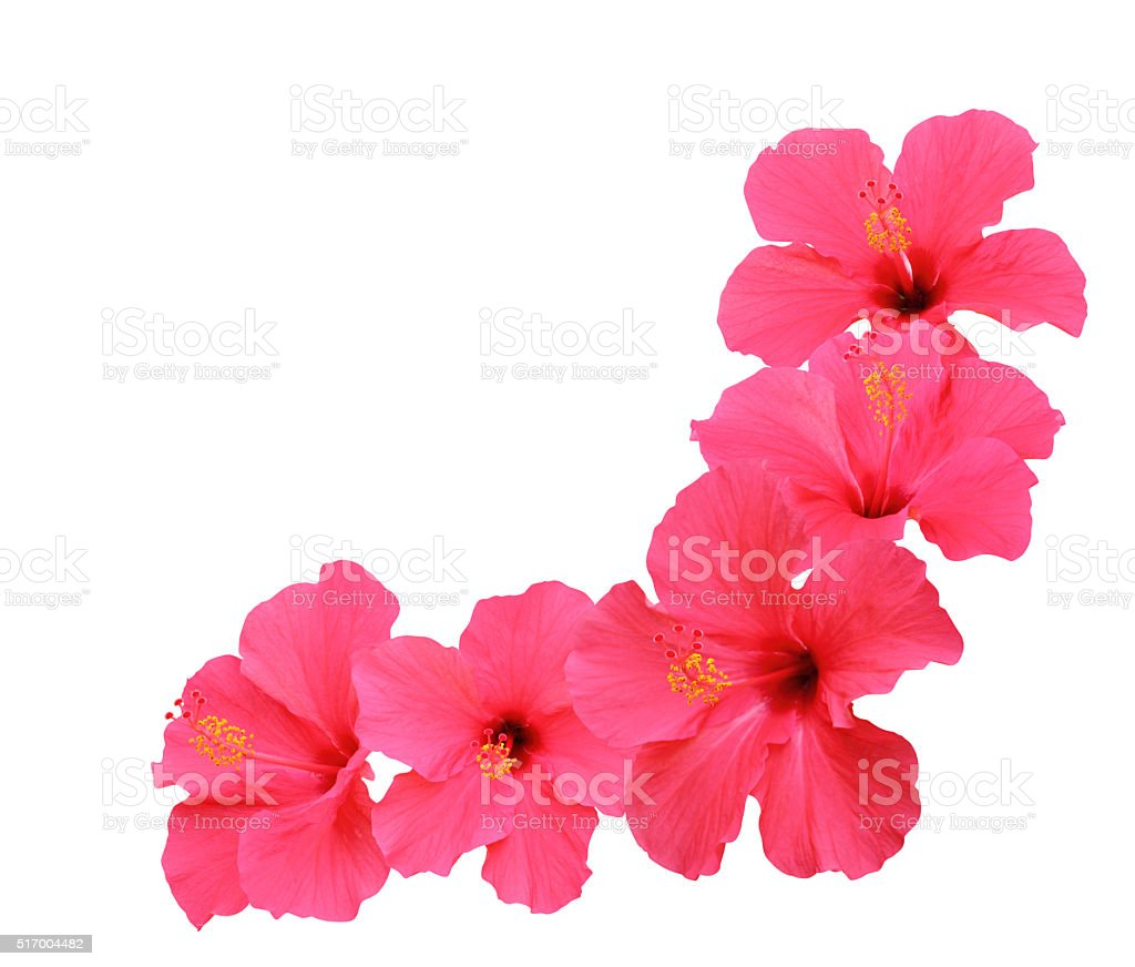 Hibiscus flowers corner design stock photo