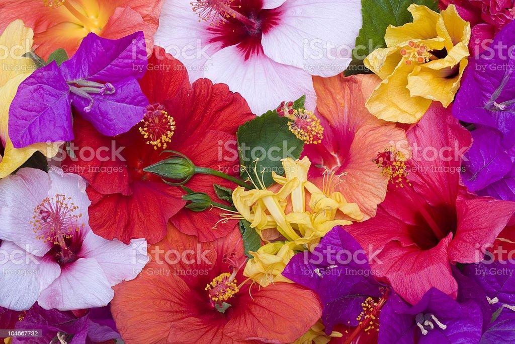 Hibiscus flowers royalty-free stock photo