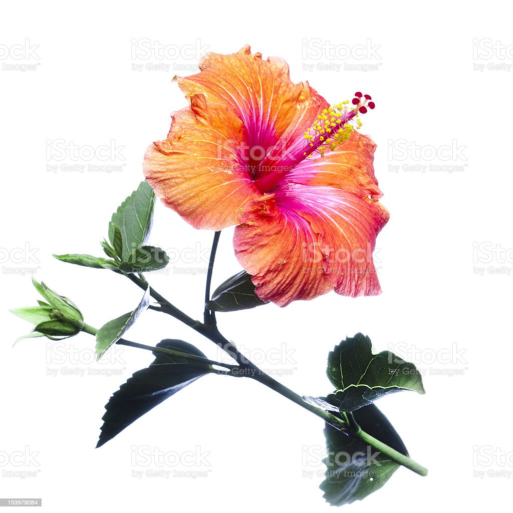 Hibiscus flowers stock photo
