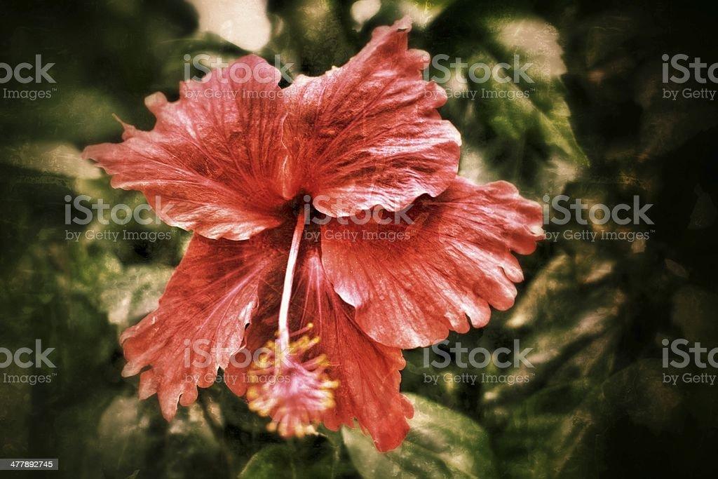 Hibiscus flowers. royalty-free stock photo