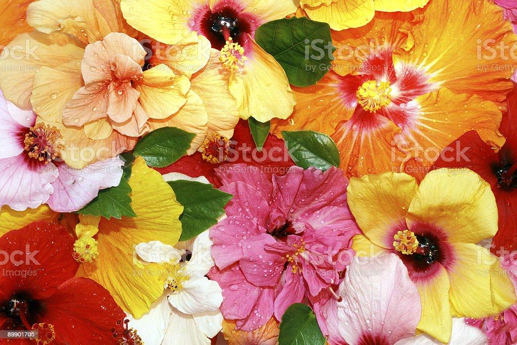 Hibiscus flowers stock photo