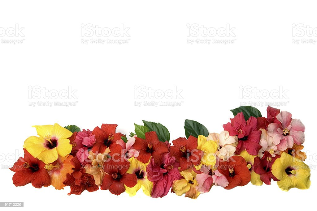 Hibiscus flowers royalty-free stock photo