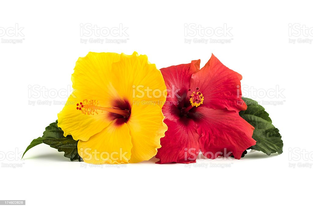 Hibiscus flowers with leaves stock photo