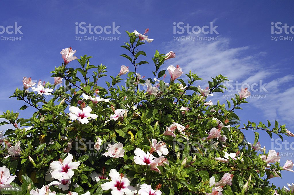 Hibiscus in front of a blue sky stock photo