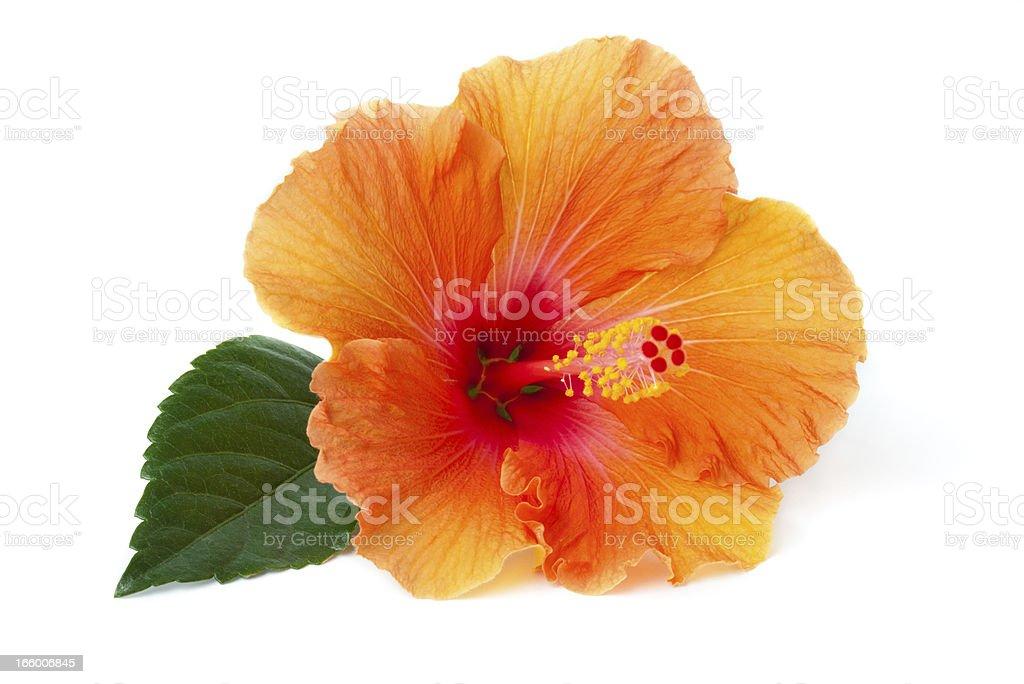 Hibiscus laying down stock photo