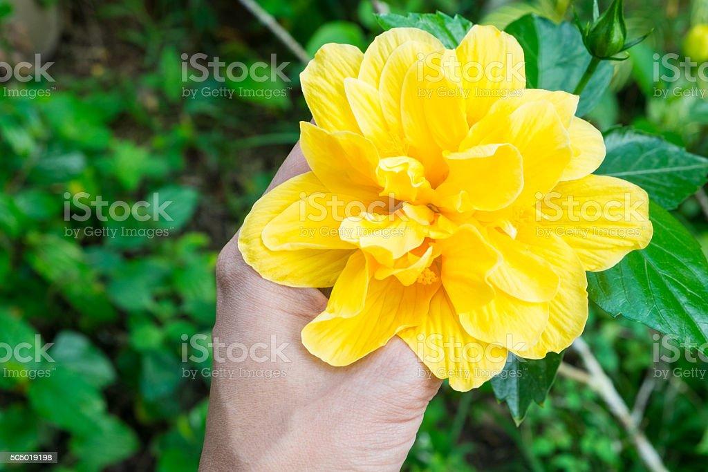 Hibiscus der hand, gelbe Blume im Wald Lizenzfreies stock-foto