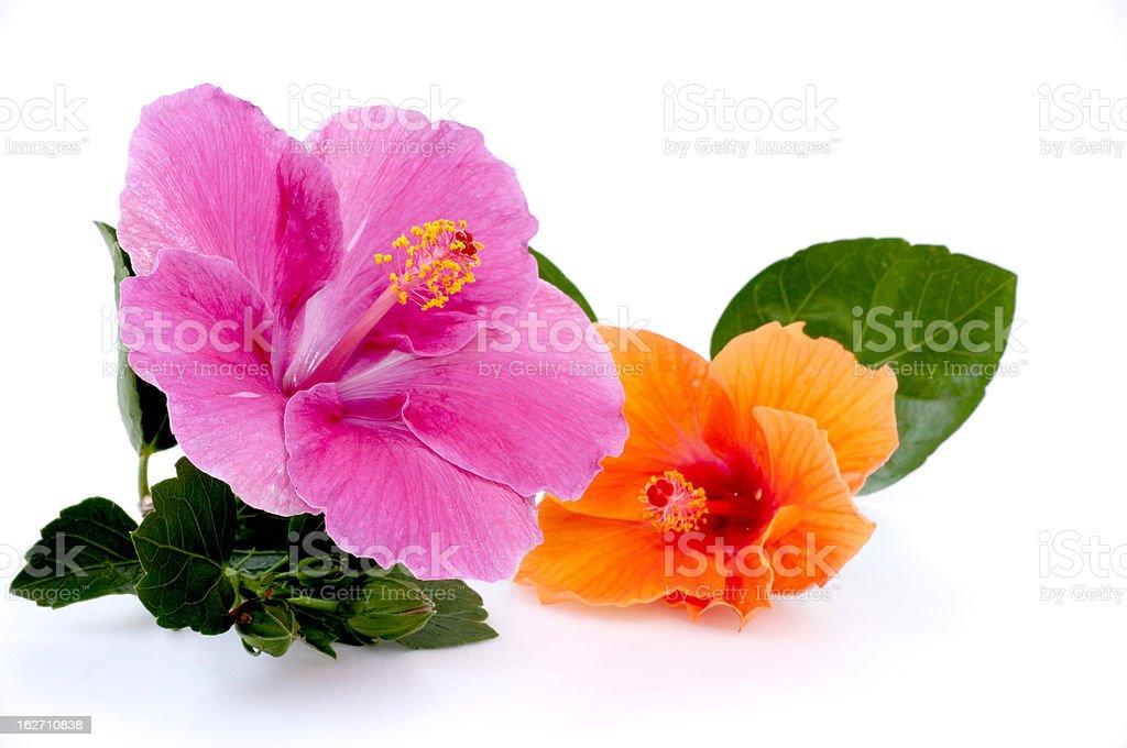 Hibiscus on white background stock photo