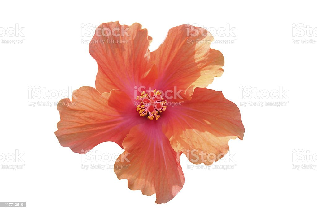 Hibiscus on white - clipping path included royalty-free stock photo