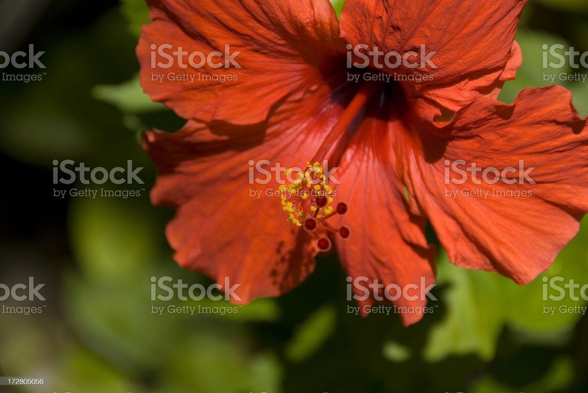 Hibiscus royalty-free stock photo