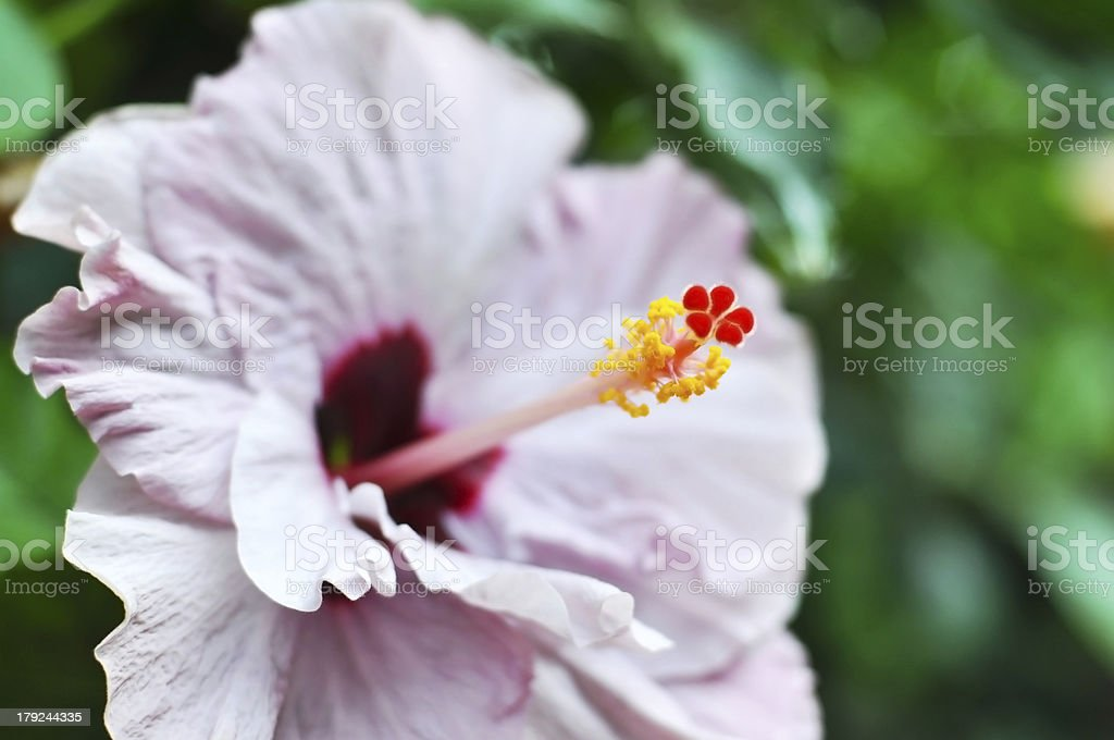 Hibiscus royalty-free stock photo