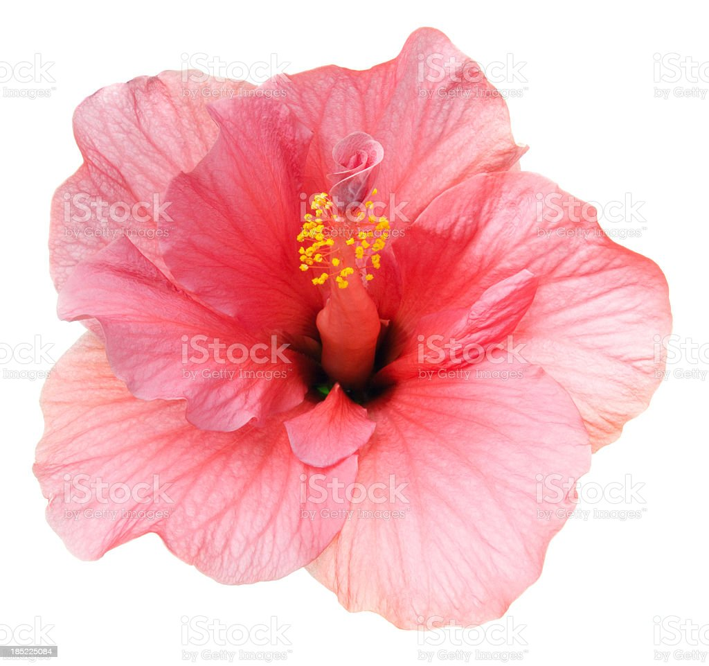 Hibiscus. royalty-free stock photo