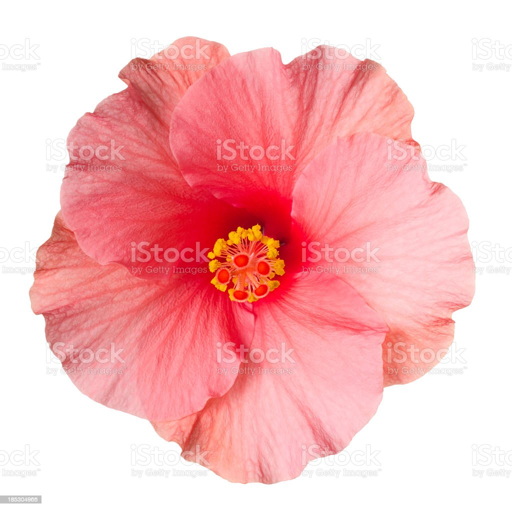 Hibiscus. stock photo