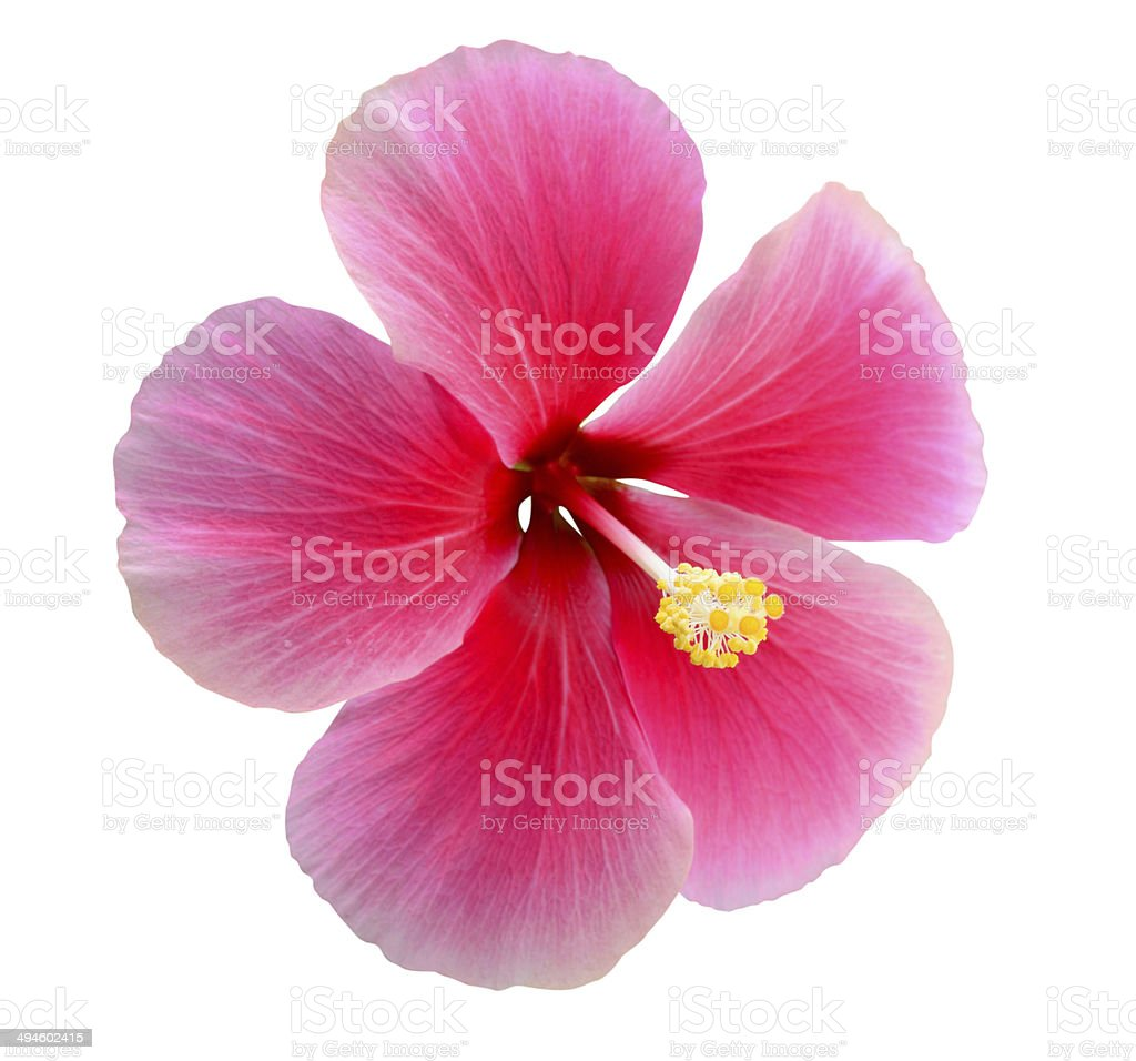 Hibiscus stock photo