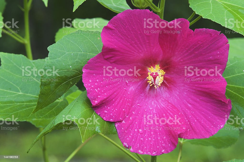 Hibiscus plant and flower royalty-free stock photo