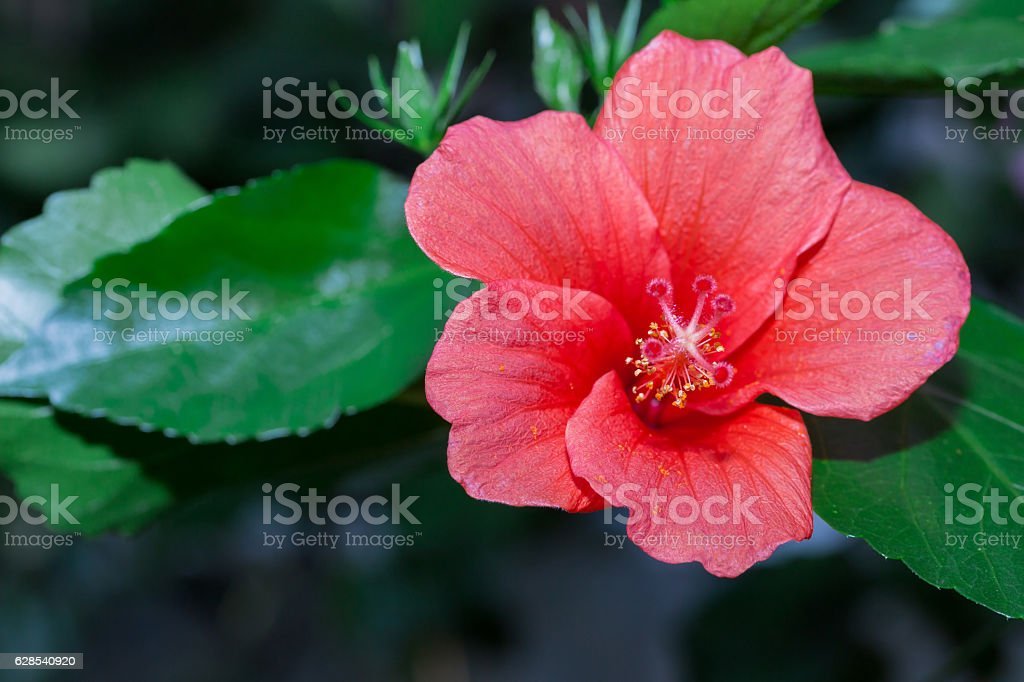 Hibiscus red flower in flower garden. stock photo