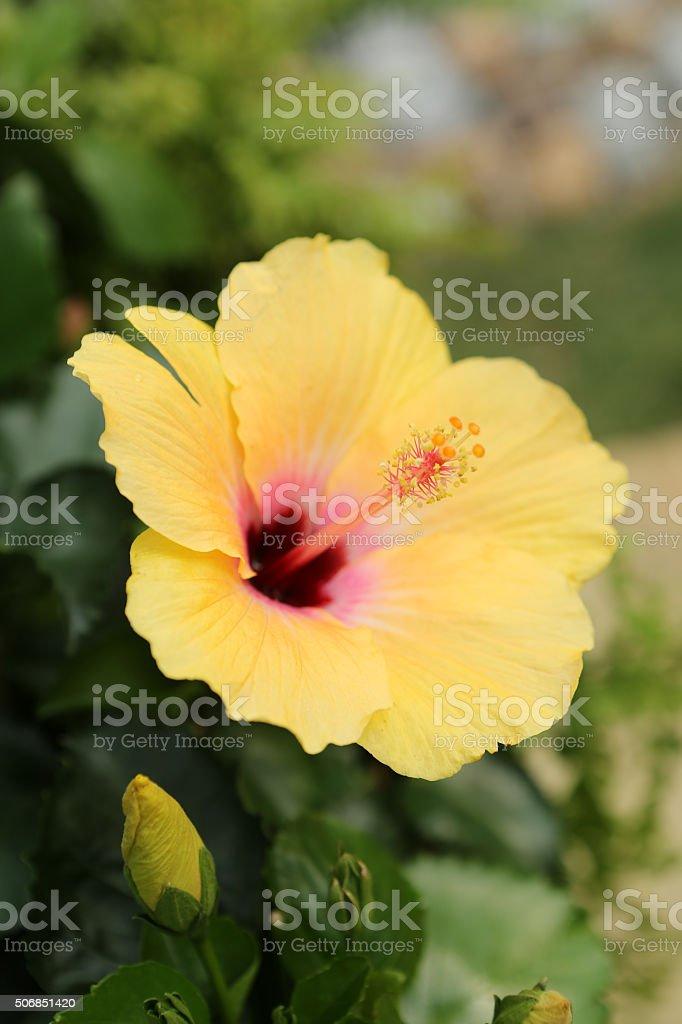 hibiscus rocasinensis stock photo