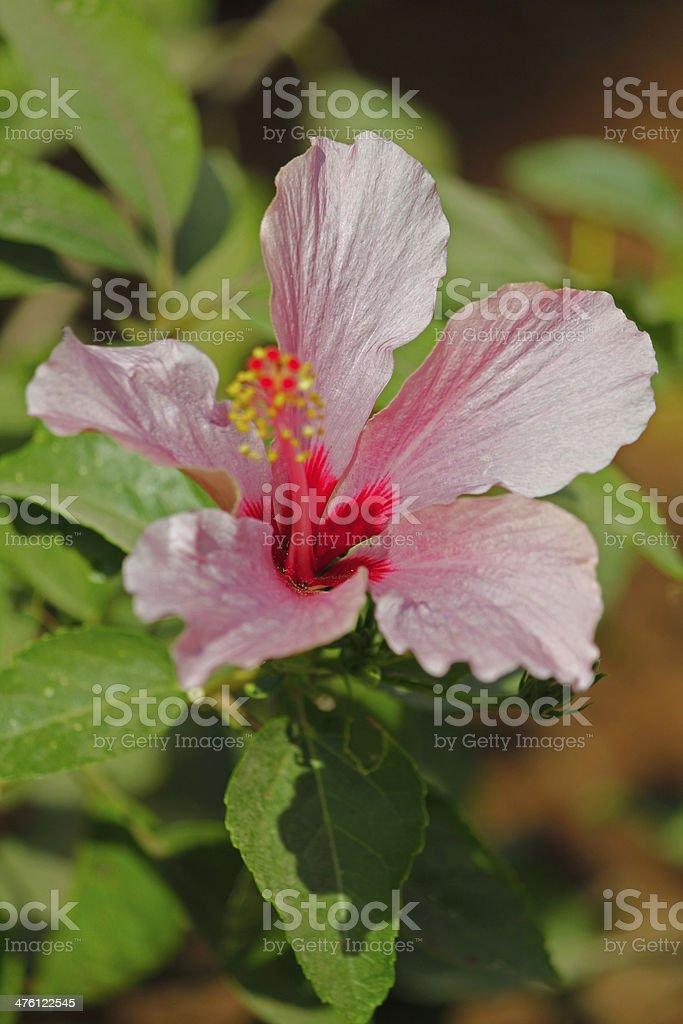 Hibiscus rosa-sinensis royalty-free stock photo