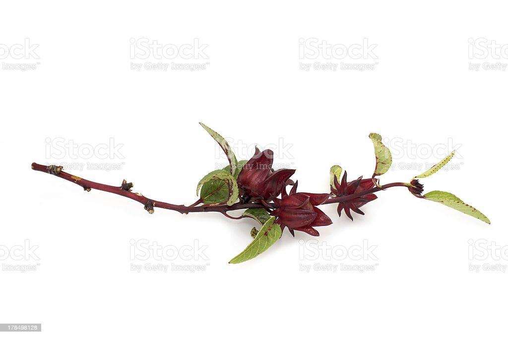 Hibiscus sabdariffa or roselle fruits royalty-free stock photo